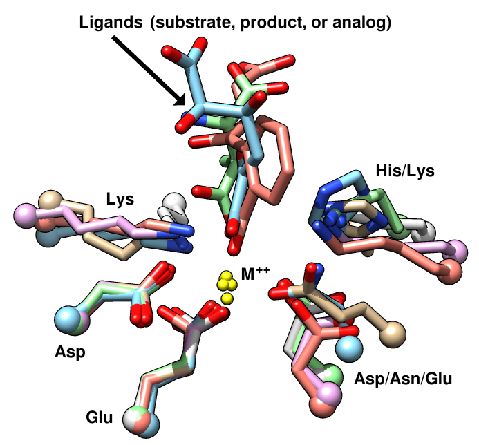 enolase SF active sites